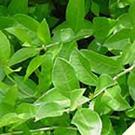 白髪染め「グリーンノート ヘナ」で使用されているヘナについて
